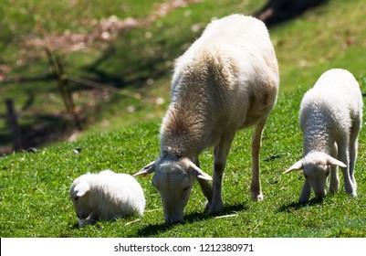 Ewe and lambs, Katahdin breed, family farm, Webster County, West Virginia, USA