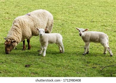 The Ewe & Lambs, Yealand Redmayne, Lancashire