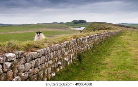 A ewe peering over Hadrian's Wall, looking from north to south of the iconic border line, with the wall meandering into the distance.