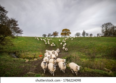ewe sheep and lambs in a group