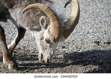 Ewe Stone Sheep at Natural Mineral Lick on Alaska Hwy in May in Stone Mountain Provincial Park of British Columbia, Stone Sheep are a subspecies of Dall Sheep, aka Thinhorn Sheep (Ovis  dalli)