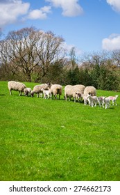 Ewes & lambs feeding in on the spring grass