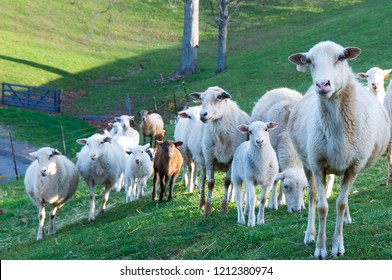 Ewes and lambs, Katahdin and Barbados Blackbelly breed mix, family farm, Webster County, West Virginia, USA