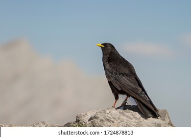 Example of alpine chough in profile on a rock. Wildlife concept.