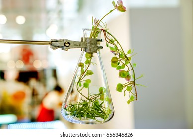 Example of herbs in glass bottles for drug and cosmetics extraction with stand flask holder.