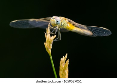 Example of Sympetrum Sanguineum dragonfly standing on flower with black background