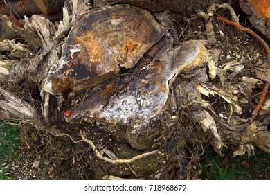 excavated pine tree roots