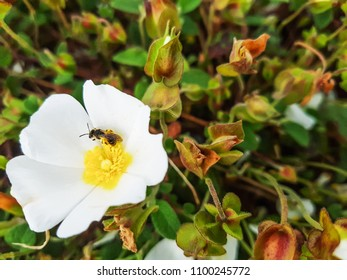 Excavator bee, Andrena flavipes, over a rock-rose flower Cistus salvifolius