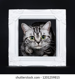 Excellent black silver tabby blotched green eyed British Shorthair kitten ready to step through white photo frame, looking at camera. Isolated on black background.