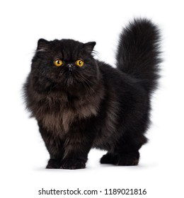 Excellent deep black Persian cat kitten standing / walking looking beside camera with big round yellow eyes, isolated on a white background. Short thick tail fierce in air.
