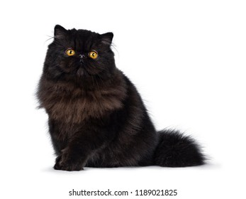 Excellent deep black Persian cat kitten sitting side ways looking in camera with big round yellow eyes and one paw lifted, isolated on a white background