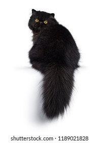 Excellent deep black Persian cat kitten sitting backwards looking over shoulder in camera with big round yellow eyes, isolated on a white background. Short thick tail hanging down over edge