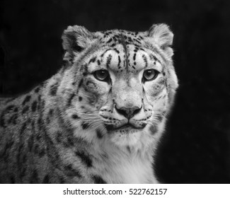 Excellent snow leopard on dark background. Eye contact with excellent big cat, dangerous raptor. Picturesque portrait of animal. Amazing beauty of wildlife in black and white image.