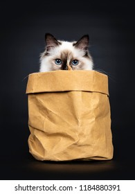 Excellent tortie young Sacred Birman cat kitten sitting in brown paper bag, looking just over the edge straight in lens with blue eyes, isolated on black background