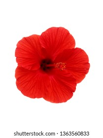 Excellent and uncommon blossoming red hibiscus flower on background from own green leaves isolated on white