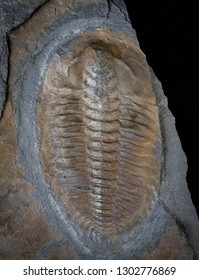 Exceptional Lower Cambrian trilobite Buenellus higginsi from the Sirius Passet Fauna of Greenland showing preservation of gut