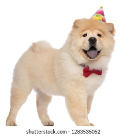 excited chow chow wearing red bowtie and birthday hat panting while standing on white background