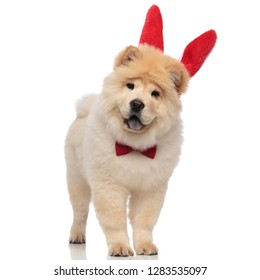 excited chow chow wearing red bowtie and rabbit ears headband standing on white background with mouth open and blue tongue exposed