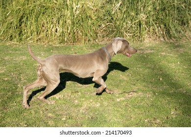 An excited dog, running and searching for something, purebred hunting female Weimaraner, also known as either silvery-gray or silver ghost