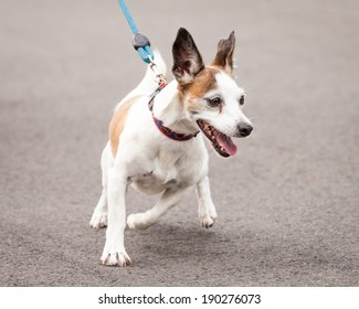 Excited and enthusiastic Jack Russell and Chihuahua cross-breed dog going for a walk on a blue leash