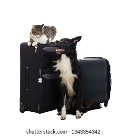 Excited purebred cat and border collie dog stand near luggage isolated over white background with copy space. Pets friends going in vacation, planning holiday together, travel concept.