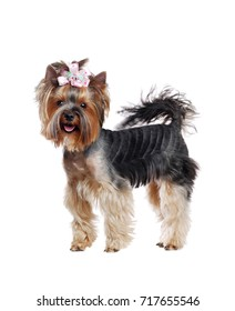 Excited Yorkshire Terrier standing in a white studio  full length picture