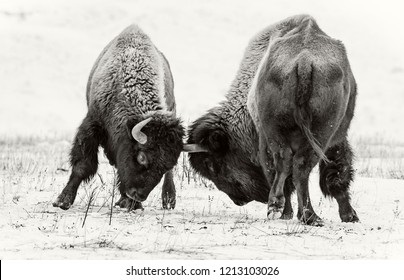 Exciting scene with fighting American bison (buffalo) in winter on the snow.
