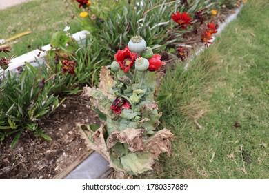 Exemplary of red oriental poppy -papaver orientale