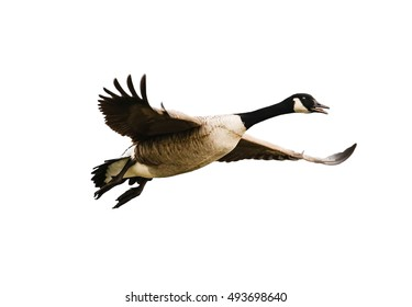 Exempted flying Canada goose against white background