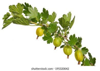 exempted gooseberries on a white background