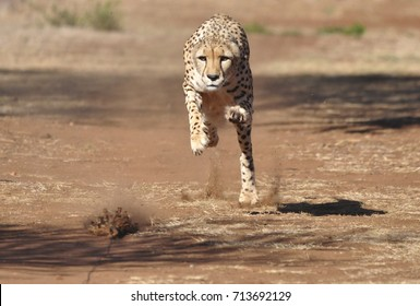 Exercising cheetah: chasing a lure, almost there!
