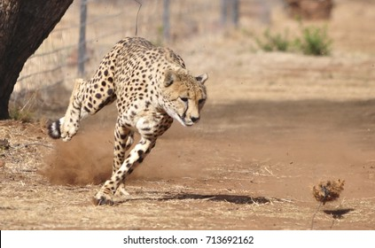 Exercising cheetah: chasing a lure, going left and right