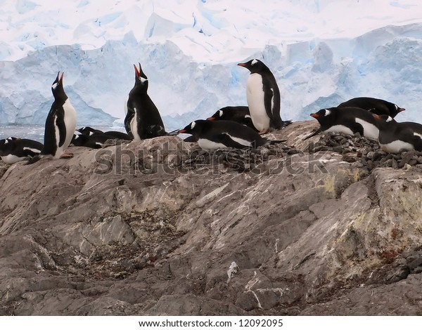 Exhaltation - ecstatic display of gentoo penguins, [Pygoscelis papua]Almirante Brown,Antarctica