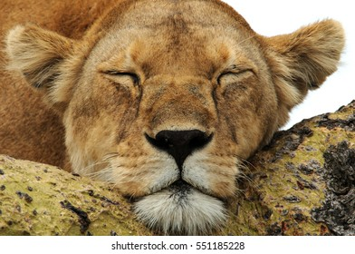 An exhausted mother lioness takes a nap in an acacia tree in Serengeti National Park, Tanzania, Africa.