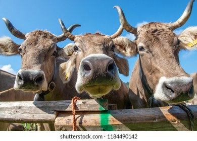 exhibition of cows for queen of cows competition