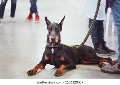 Exhibition of dogs, Doberman with the owner, space for text