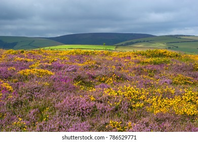EXMOOR NATIONAL PARK, SOMERSET, ENGLAND - AUGUST 13, 2017: View over Heather and Gorse on Exmoor