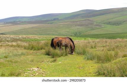 Exmoor Ponies and Foal (Equus Ferus Caballus) on Dunkery Moor in Exmoor National Park, Somerset, England, UK