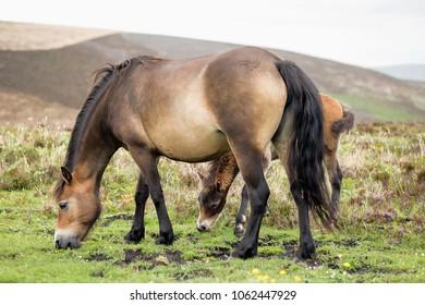 Exmoor ponies grazing on Exmoor