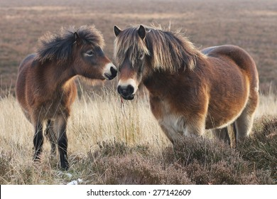 Exmoor ponies on Exmoor. Mother and foal stood close together.