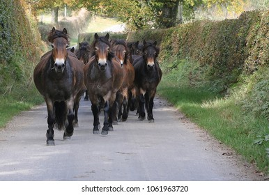 Exmoor ponies running down a country lane on Exmoor.