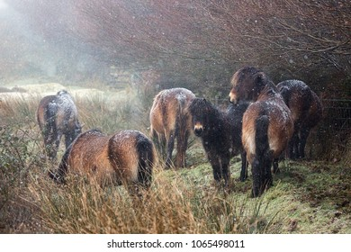 Exmoor ponies sheltering from the snow