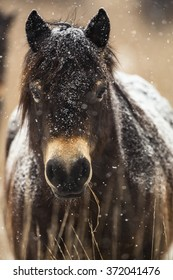 Exmoor pony detail photography.
