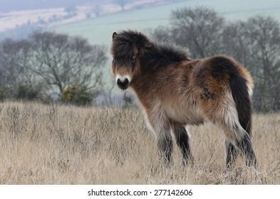 Exmoor pony foal