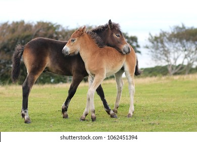 Exmoor pony mother and foal close together on the grass.