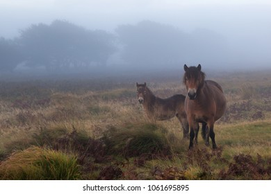 Exmoor pony mother and foal on Exmoor on a misty morning.