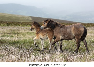 Exmoor Pony mother and foal on the moor.