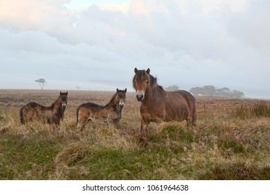 Exmoor pony mother and two young foals on the moor on a misty morning.
