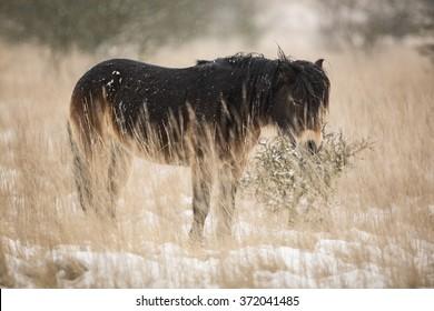 Exmoor pony standing in grassland.