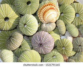Exoskeletons of sea urchin with shell